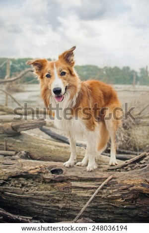 Red Border Collie dog is standing on a log in summer