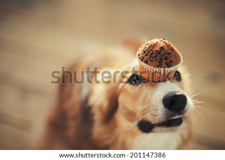 Red border collie dog keeps cake on her nose stock photo