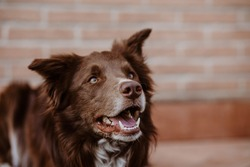 Red border collie dog pet
