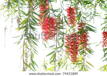 Red bottle brush tree flower branch isolated
