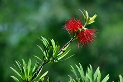 red bottlebrush in bloom in a nature