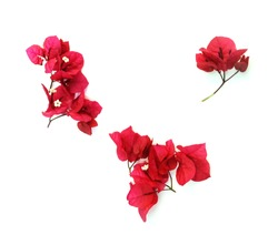 Red Bougainvillea flower isolated on white background