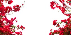 Red Bougainvillea flower on white background. Banner background with copy space.