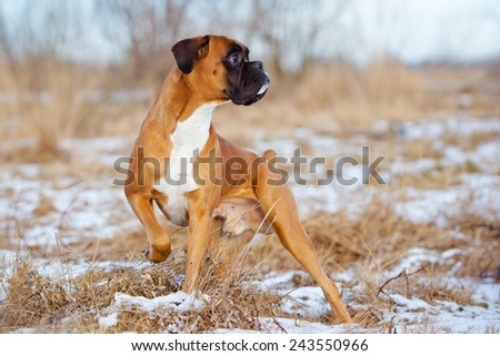 red boxer dog standing outdoors