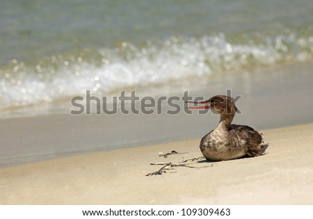 Red Breasted Merganser Resting on the Beach