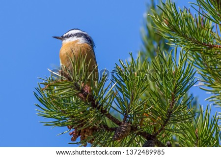 Red-breasted nuthatch perched on a pine tree on the lookout - in the fall / autumn in the Crex Meadows Wildlife Area in Northern Wisconsin