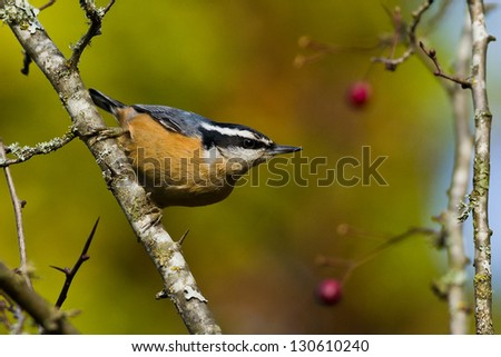 Red-breasted Nuthatch (Sitta canadensis) is a small songbird.