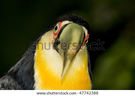 Red breasted toucan looking at the camera
