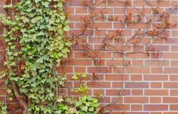 red brick wall and ivy, background