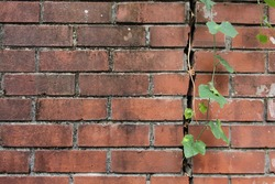 Red brick wall with green plant leaf creepers
