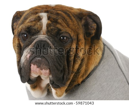 red brindle english bulldog head portrait wearing grey flannel dog coat