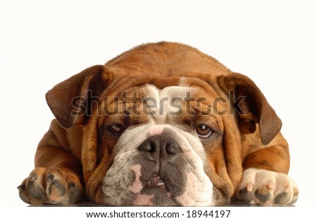 red brindle english bulldog lying down face on with silly expression