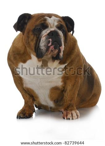 red brindle english bulldog sitting with reflection on white background