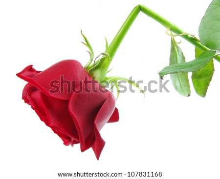 red broken rose isolated on white