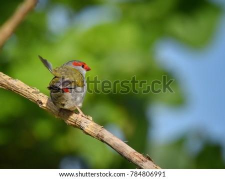 Red Browed Eye, Birdwatching, Birding, Bird Photography, Animal, Fauna Sydney Australia.
