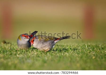 Red Browed Finch at Eastlake Golf Club