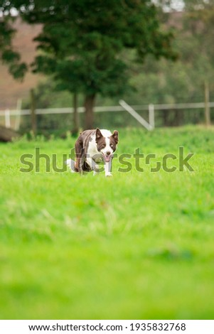 Red brown and white border collie sheep dog herding  Stockfoto ©