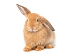 Red-brown cute young rabbit isolated on white background. Lovely young rabbit sitting.