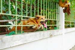 Red brown dog in metal green color fence try to escape from home to outside.