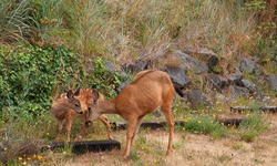 Red Brown Fawn and Doe loving one another against a grass hill