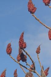 Red brown flowers of sumac tree. Rhus typhina against blue sky in spring.