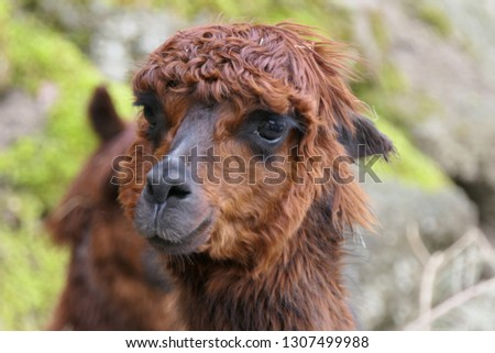 red-brown llama is looking at camera