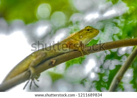 Stock Photo Red brown thai chameleon.