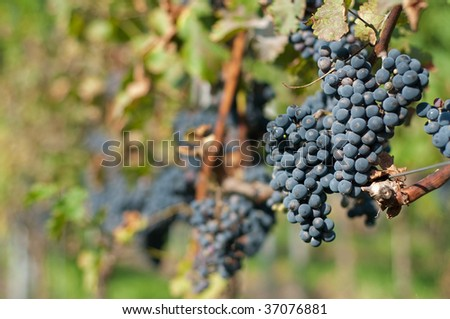 Red bunches of grape in the vineyard before the harvest
