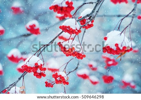 Red bunches of rowan covered with the first snow #509646298