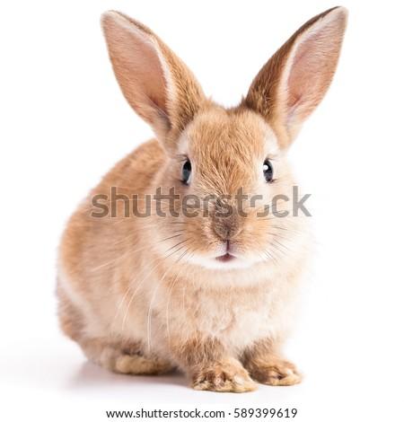 red bunny rabbit portrait...