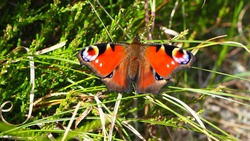 Red butterfly in green grass, spotted, horizontal
