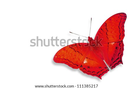 Red Butterfly insect flying isolated on white background.