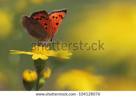 Red butterfly Scarce Copper