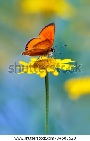 red butterfly Scarce Copper , Lycaena virgaureae - vertical photo #94685620