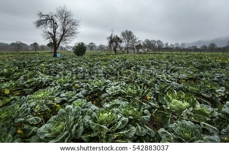 Red Cabbage Farm And Farmer 542883037