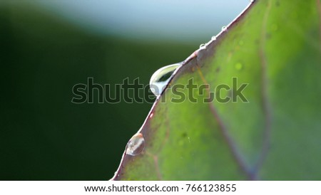 Red Cabbage leaf very close with clear fresh drops of water in the garden #766123855