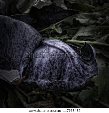 Red Cabbage Leaves on a Compost Heap/Artistically alienated to create a grungy somber atmosphere