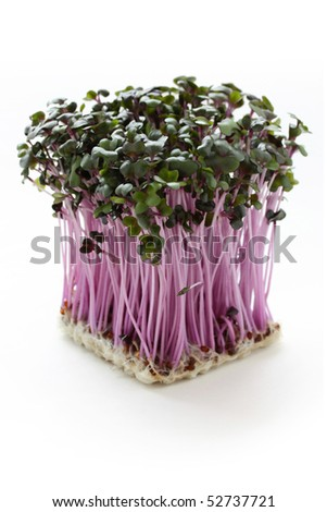 Red cabbage sprouts on a white background