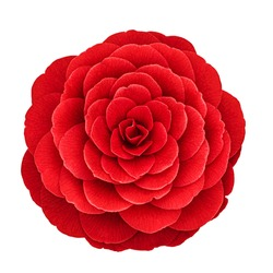 Red camellia flower var. Black Lace  isolated on white background. Red Camellia japonica blossom in full bloom, close up