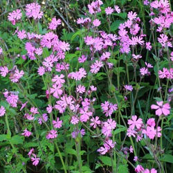 Red Campion, (Silene dioica), flowering in a hedgerow, near Mevagissey, Cornwall, England, UK.