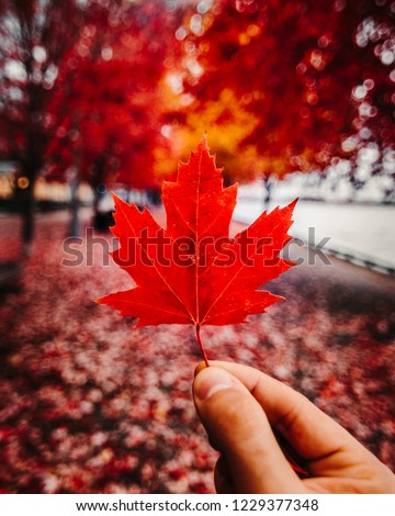 RED CANADIAN MAPLE LEAF IN FALL/AUTUMN SETTING - Red leaf being held up by hand inside tunnel of fall leaves and foliage. Red and yellow seasonal colors. Exploring Canada. Toronto, Ontario, Canada #1229377348