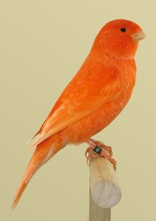 Red canary perched in softbox