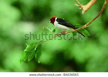 Red-capped Cardinal sitting on a branch