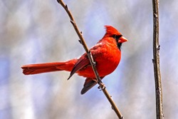 Red Cardinal bird perched on tree twig branch, sunshine shows vibrant color
