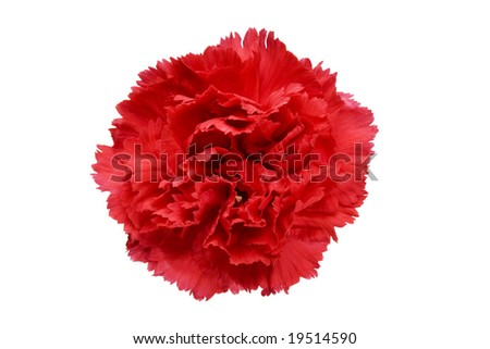 Red carnation flower isolated on a white background
