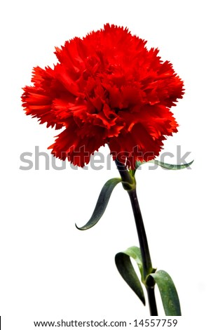 red carnation flower isolated with clipping path on white