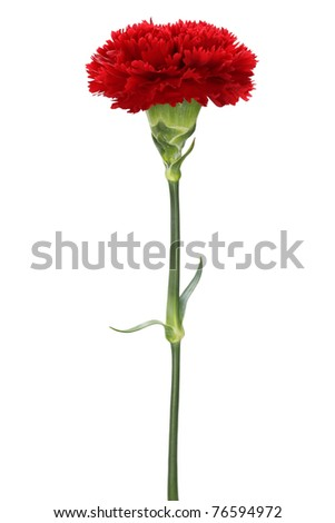 red carnation , mother's day , on white background