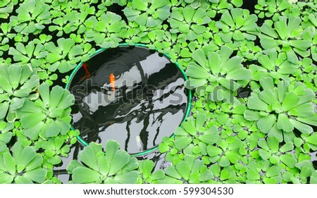 Red carp in a pond among green lettuce