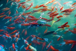 Red carp in the pond, Koi. In Asian culture and customs, it represents the mascot of good luck.