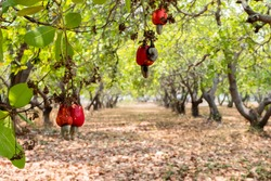 Red cashews on a tree in the cashew plantation